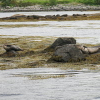 Seal Colony at Loch Etive from Etive Explorer
