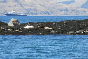 Sunbathing seals off Lismore island by etive boat trips