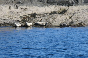 Seals at Lismore by Etive Boat Trips
