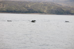 Dolphins at Lismore