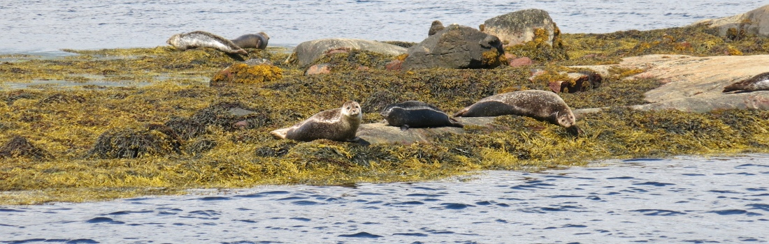 Seals in Loch Etive