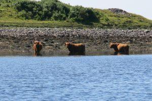 Highland Cattle at Loch Etive