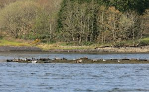 Seals at Loch Etive